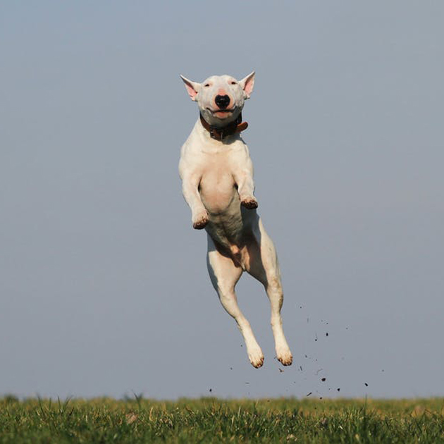 bull terrier jumping in the air