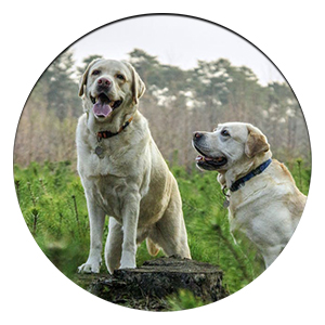 two labradors sitting down in a field