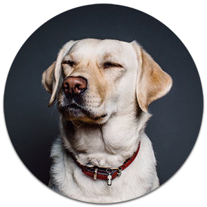 yellow labrador with eyes closed