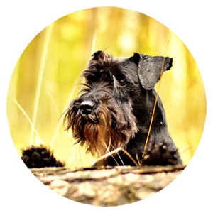 terrier dog in woods