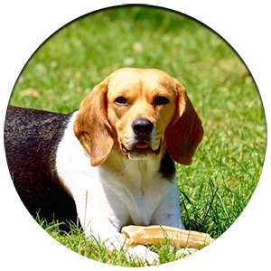 beagle laying down in grass