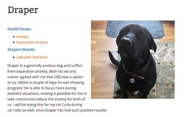 Draper the black lab with anxiety
