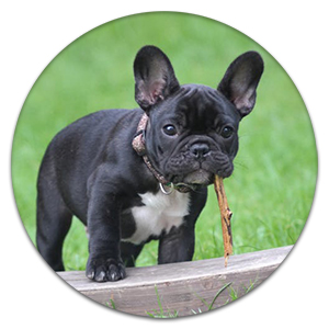 French Bulldog puppy outside