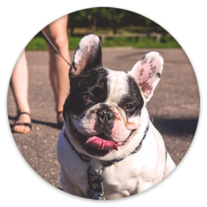 French bulldog sitting down