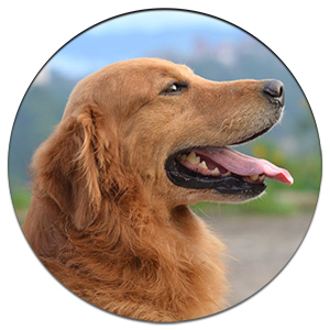 CBD Oil for Golden Retrievers - Treat Hip Dysplasia, Anxiety
