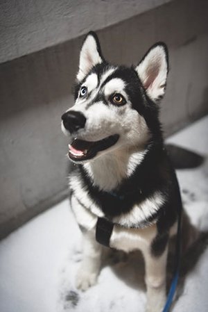 siberian husky sitting down
