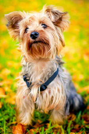 yorkshire terrier sitting down