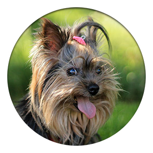 yorkshire terrier with anxiety