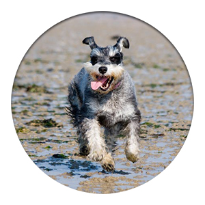miniature schnauzer running on beach