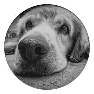 dog with lymphoma cancer