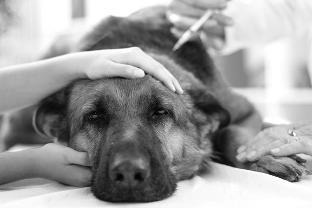 dog with lymphoma