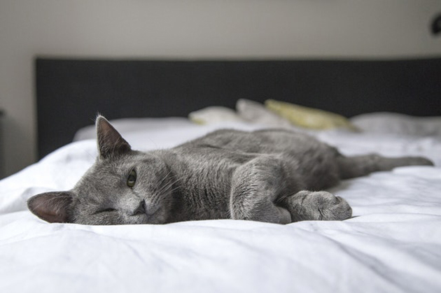 gray cat with arthritis laying on a bed