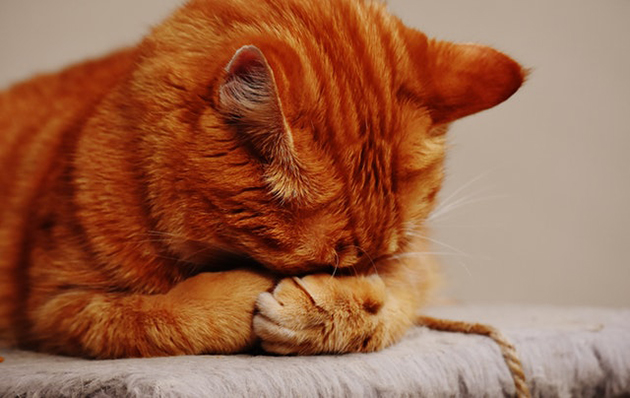 orange cat with stomach pain