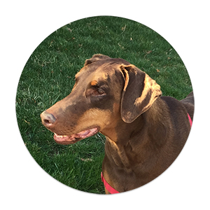 reese the dobermann with anxiety