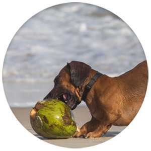 dog playing with a coconut